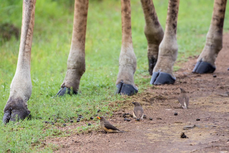 Oxpecker and giraffe feet