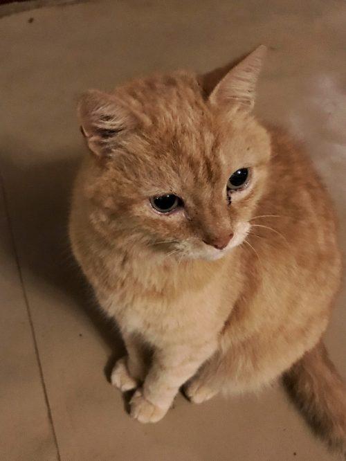 Piki Piki, the resident ginger cat at Cottar's