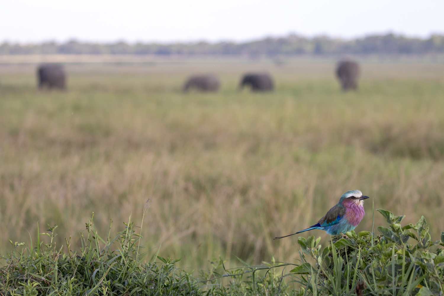 LILAC BREASTED ROLLER & ELLIES