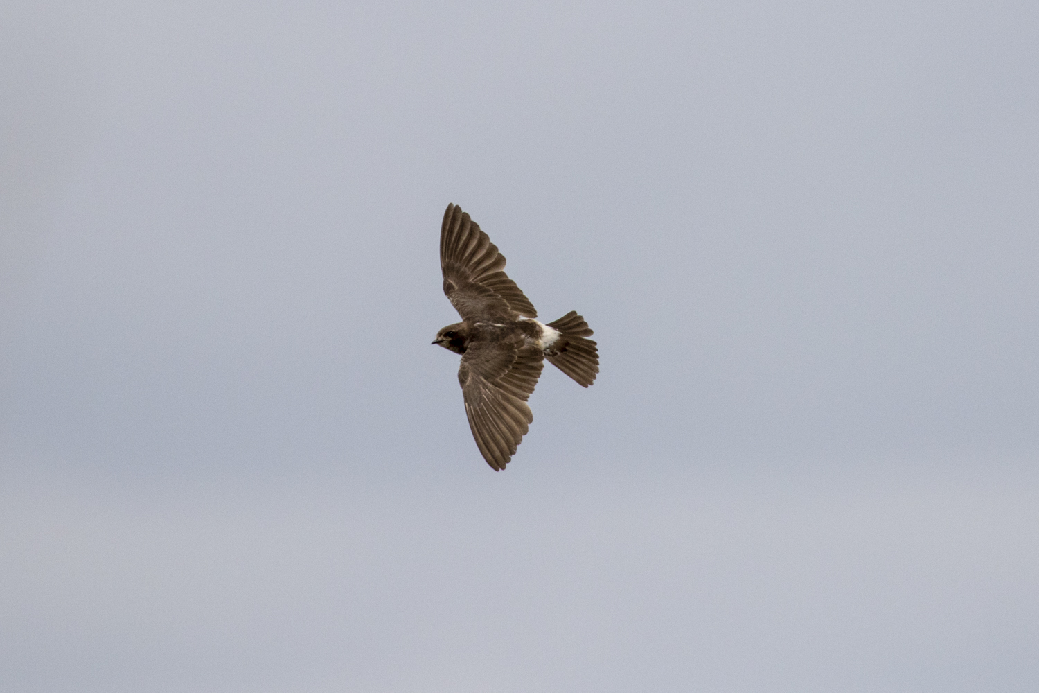 SOUTH AFRICAN CLIFF SWALLOW