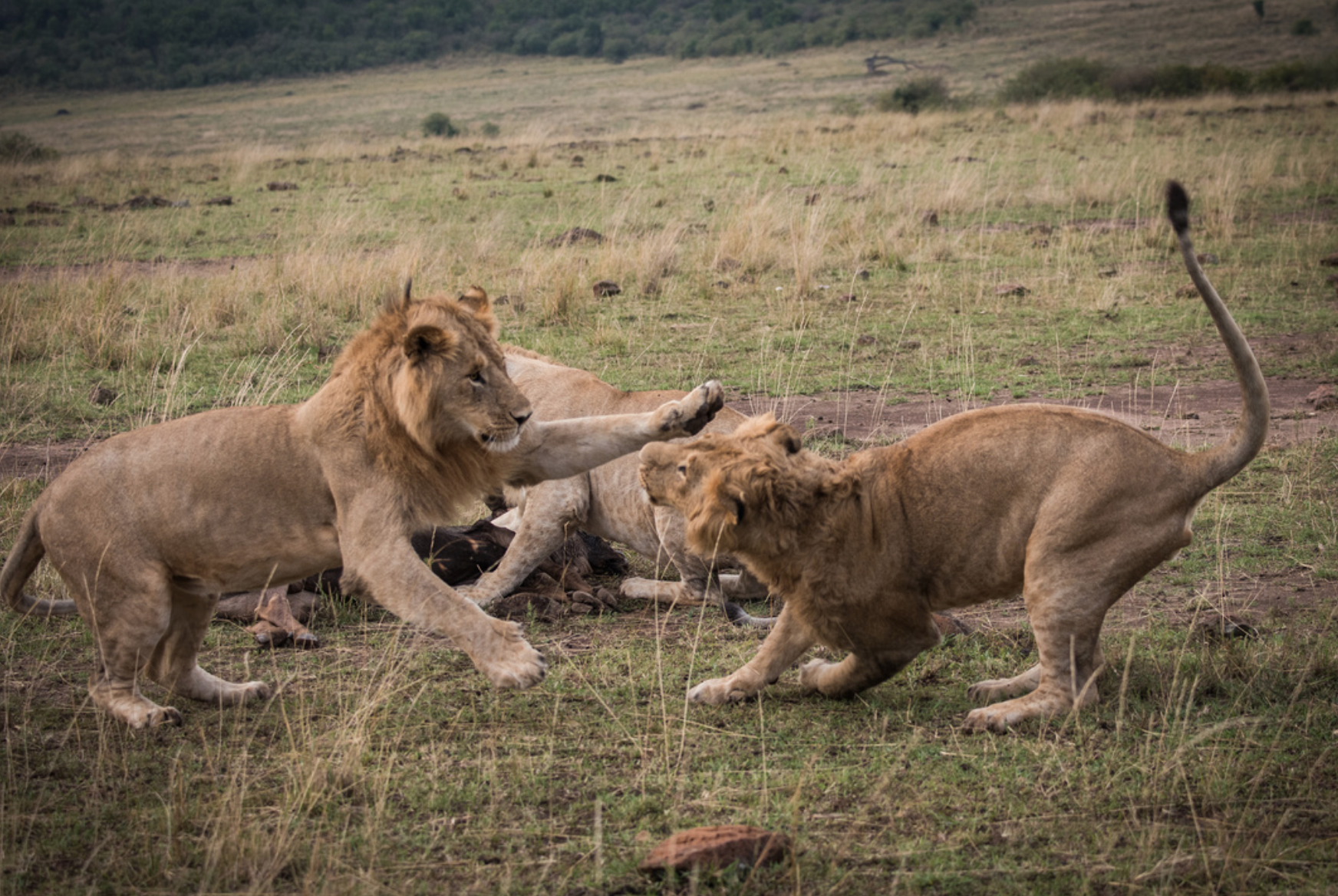 male lions playing