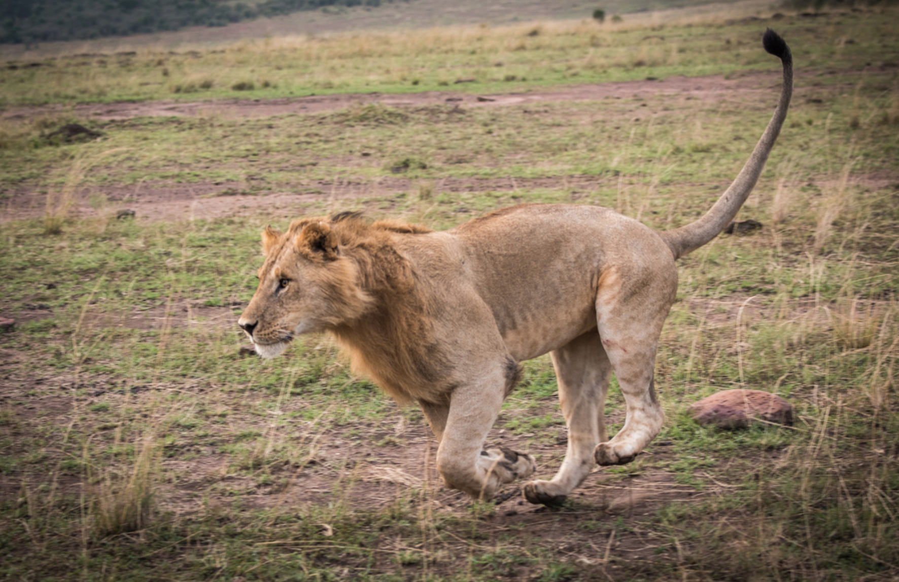 male lion playing