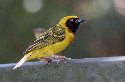 Speke's weaver bird, photograph courtesy of Adam Scott Kennedy
