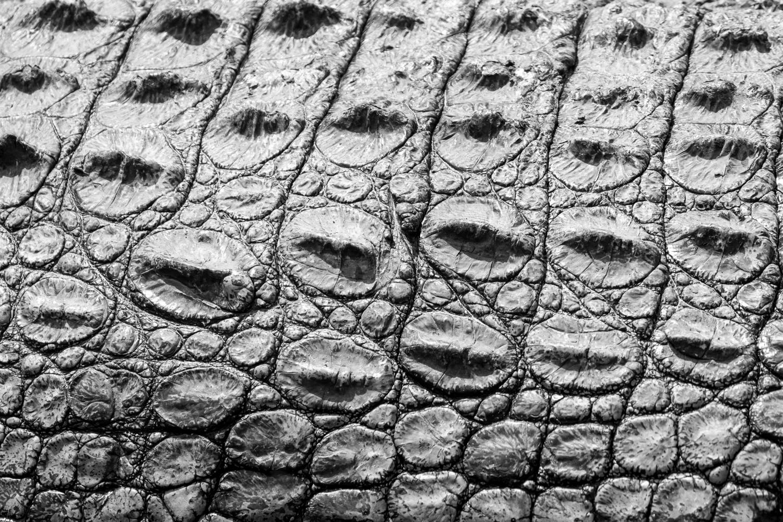 Scutes Close-up