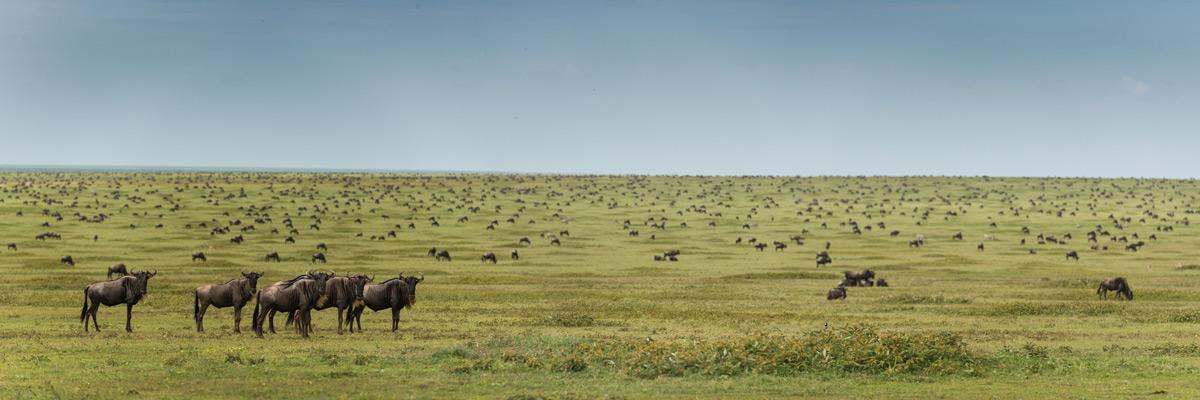 Serengeti-Wildebeest-Pano