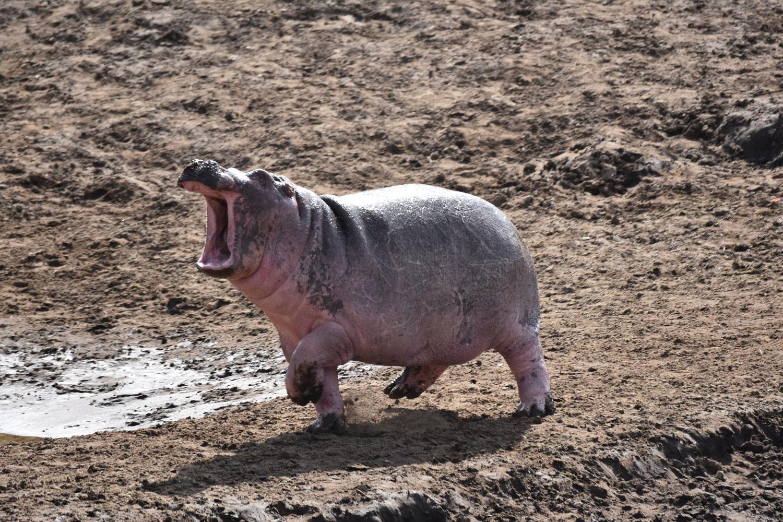 Shouting Hippo