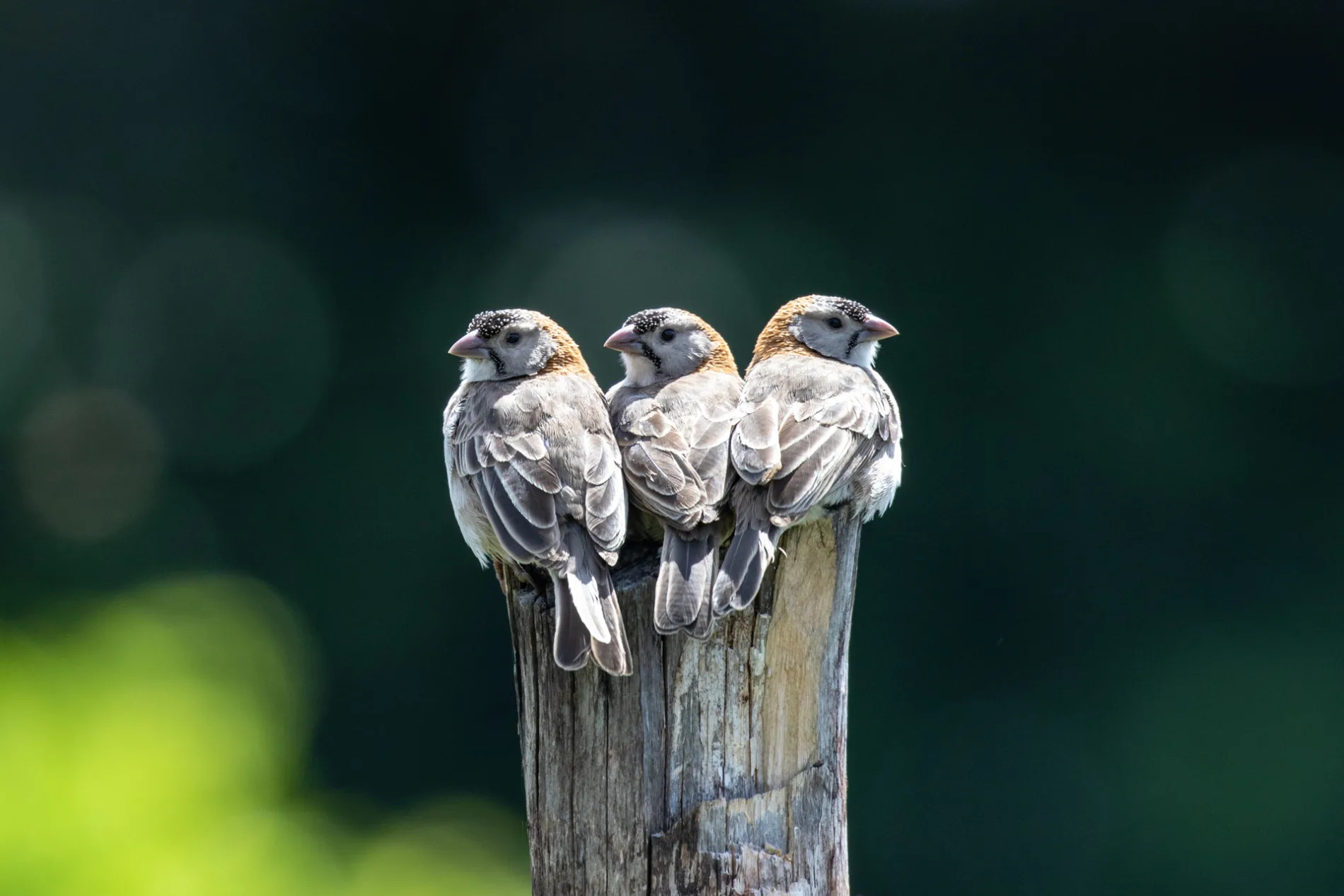 Speckle-fronted Weavers