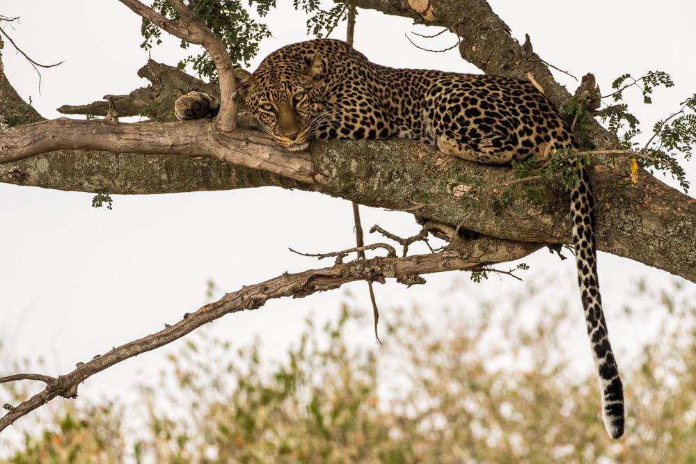 Leopard in tree in the Maasai Mara