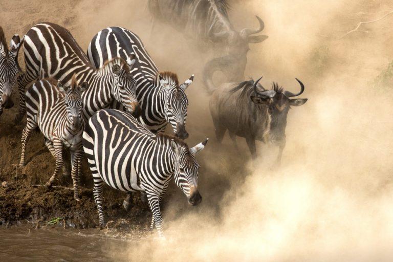 Zebra and Wildebeest Crossing Mara River