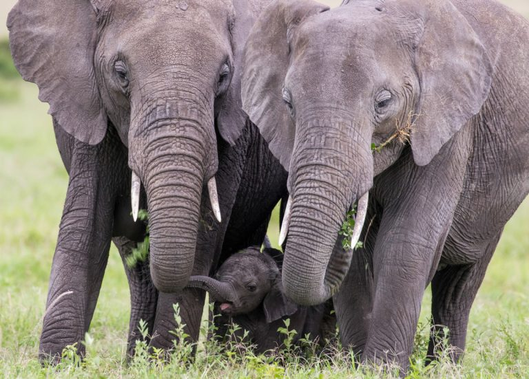 Elephant family MAasai Mara