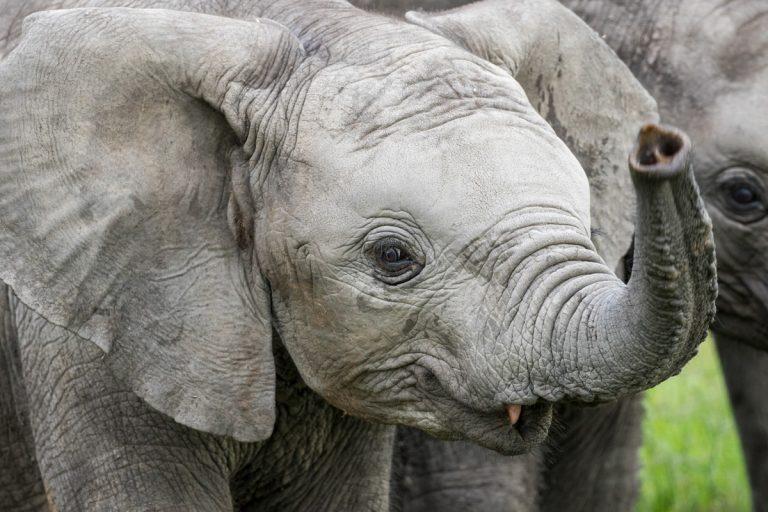 Baby elephant in the Maasai Mara