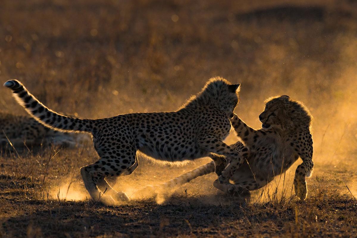 'Cheetah Cubs Playing At Sunrise' by Mario Vigo