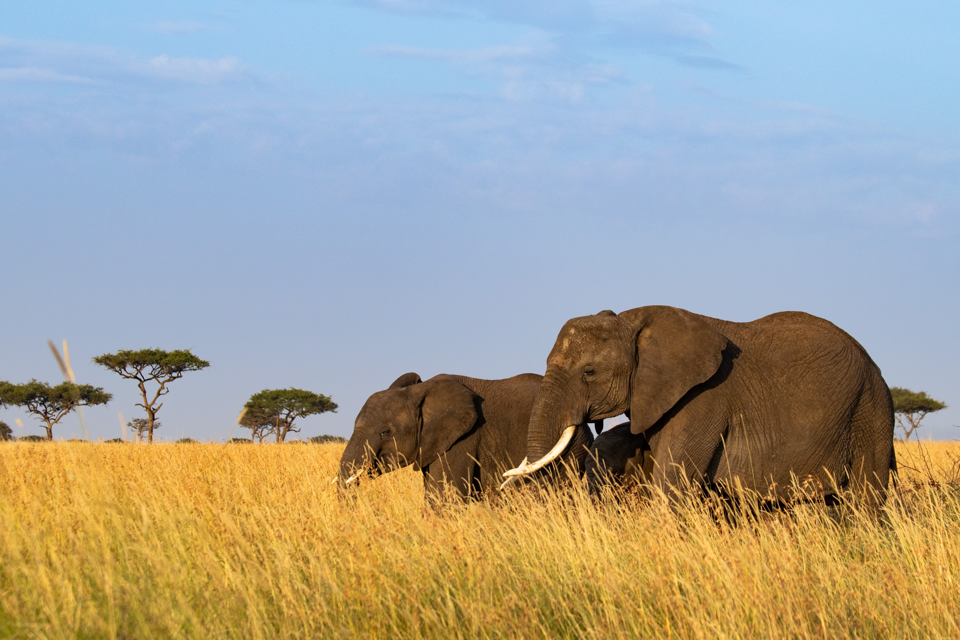 Elephant herd grass