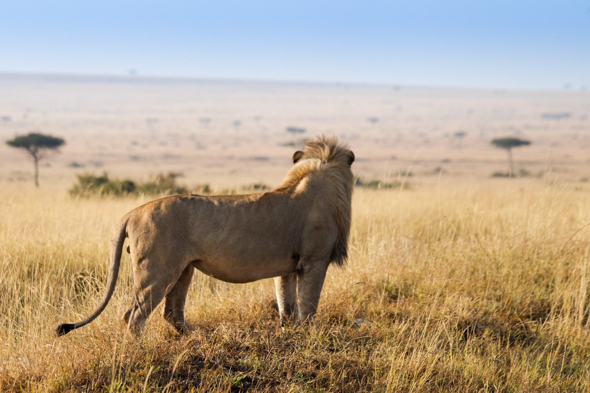 Male Lion overlooking Mara