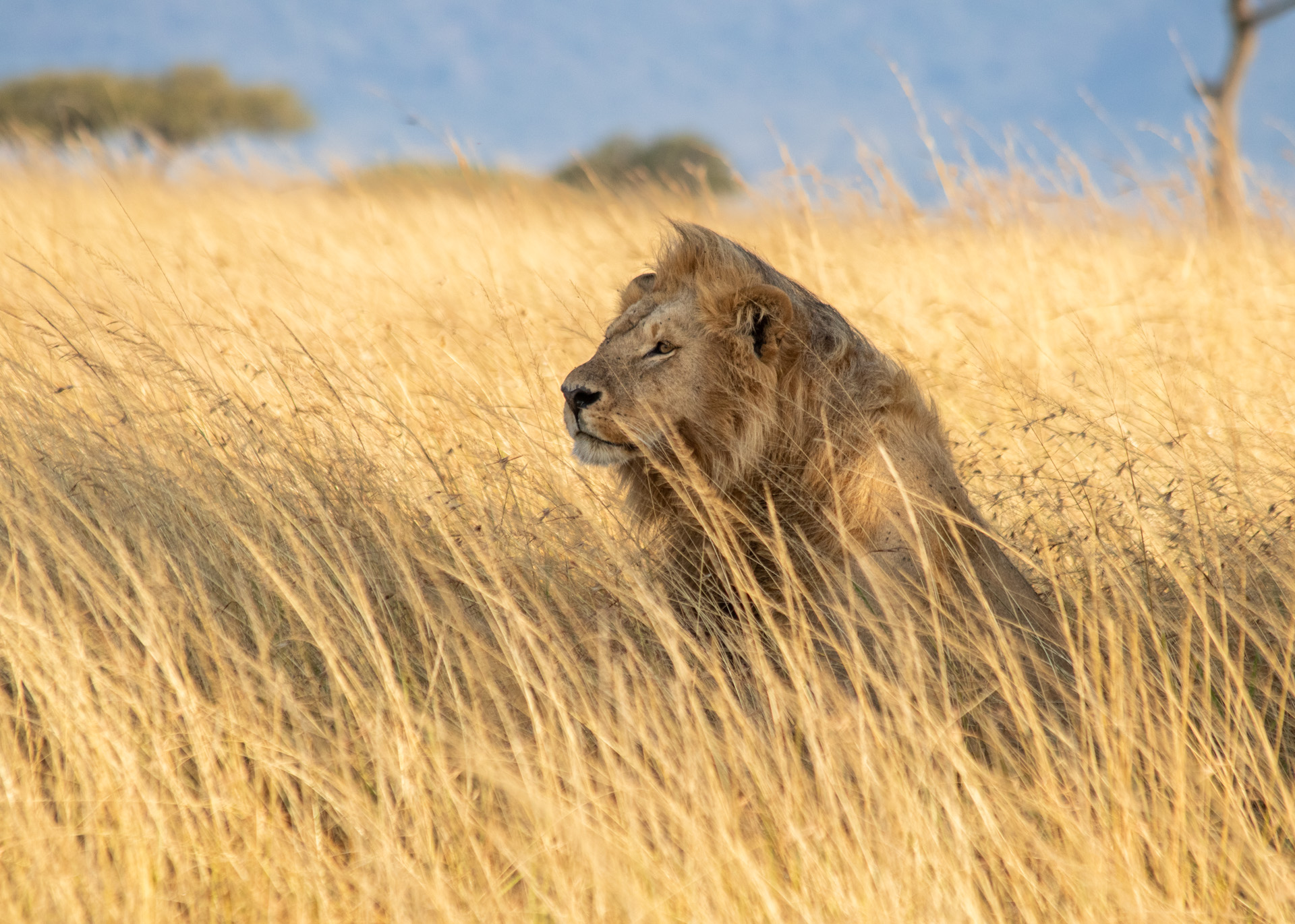 Lion in shade