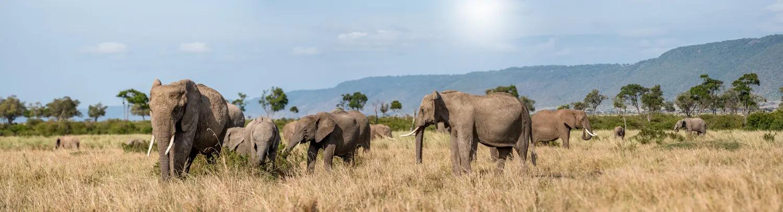 Elephants panorama