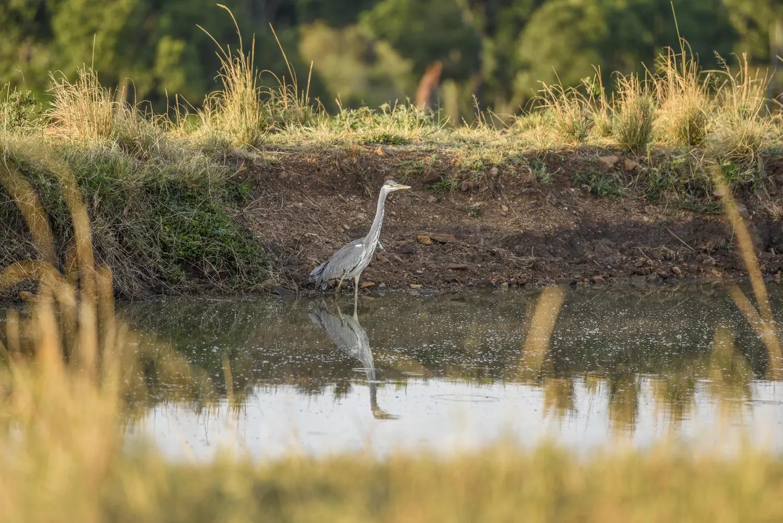 Heron at the water