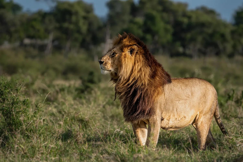 Short tail - Male Lion