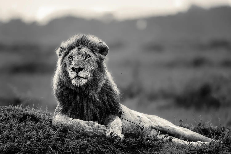 Male Lion black n White