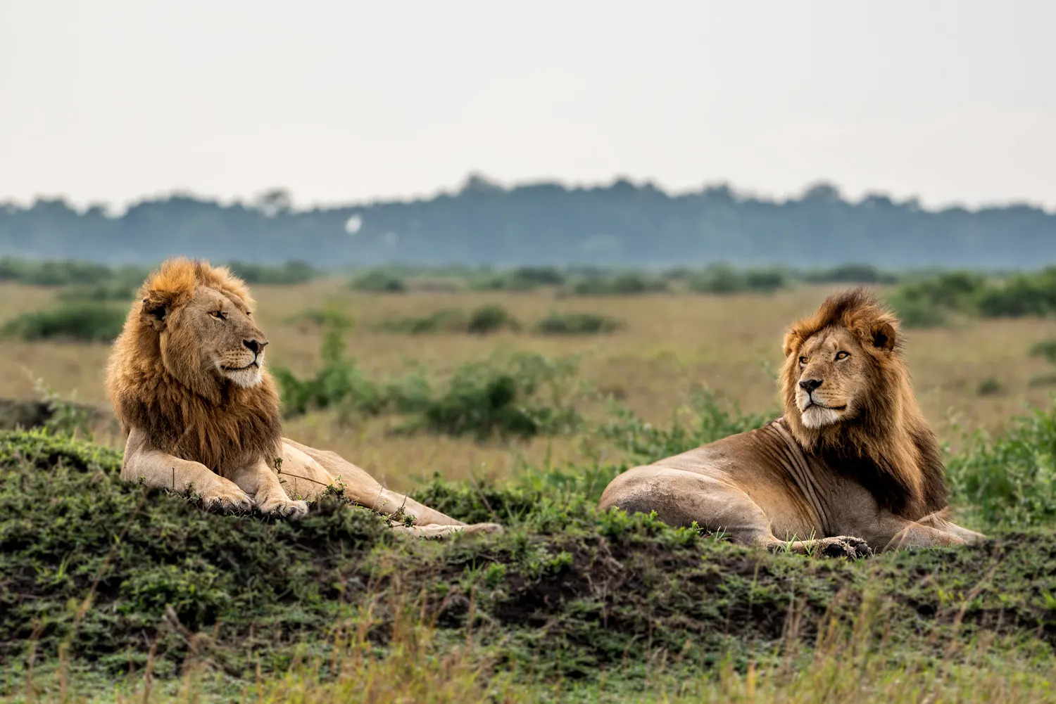 Male Lions on mound