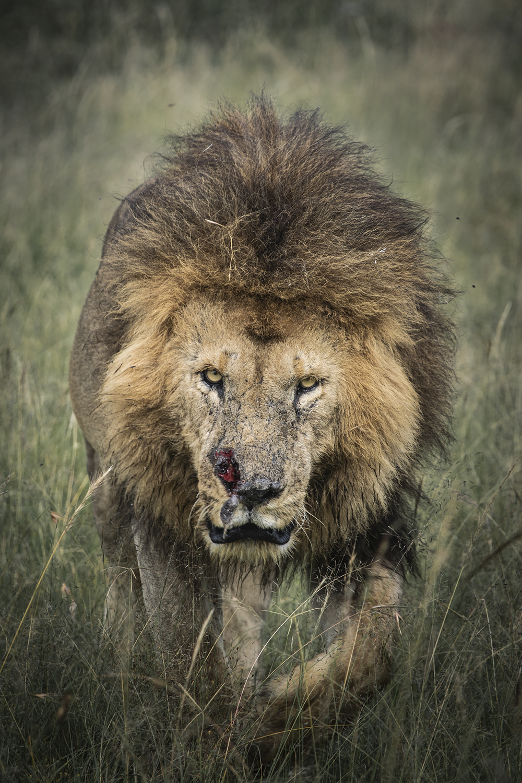 Intense lion moment