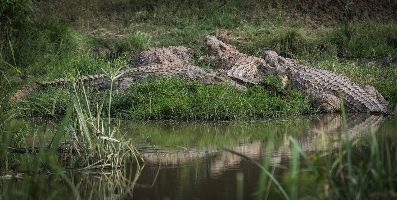 Crocodile Circle