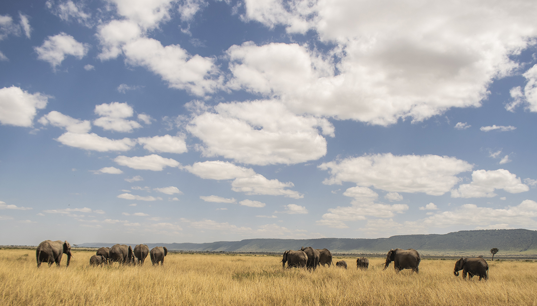 Elephant Herd Back
