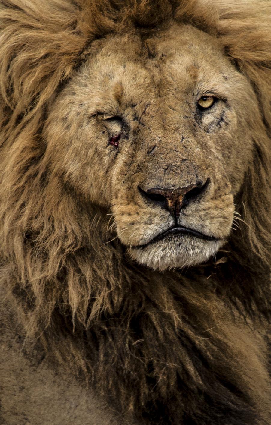 Lion Wink