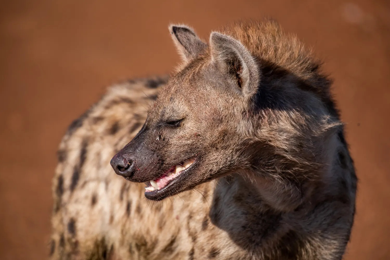 Hyena Portrait