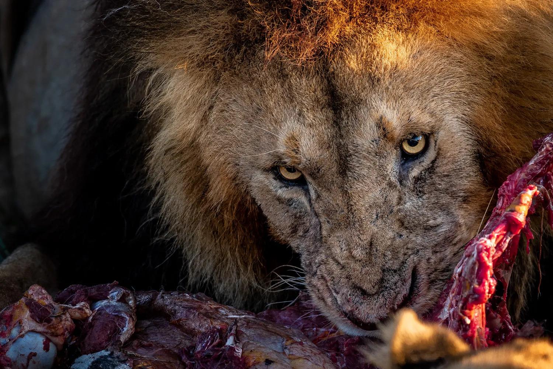 MALE LION FEEDING