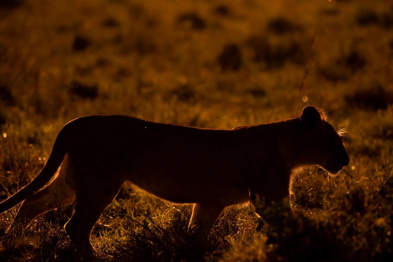 Rim Lit lion cub