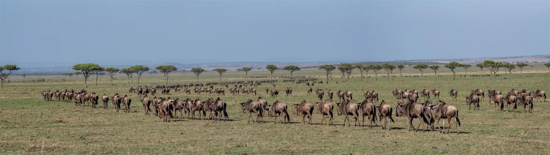 Wildebeest panorama