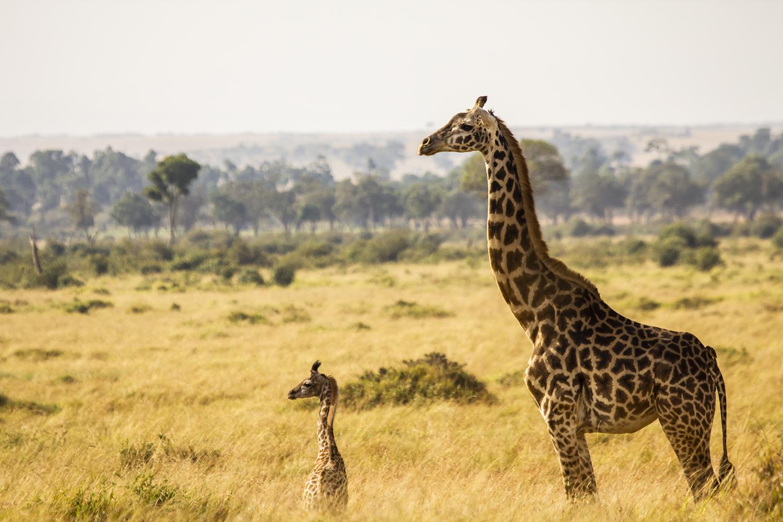 Giraffe baby in the maasai mara