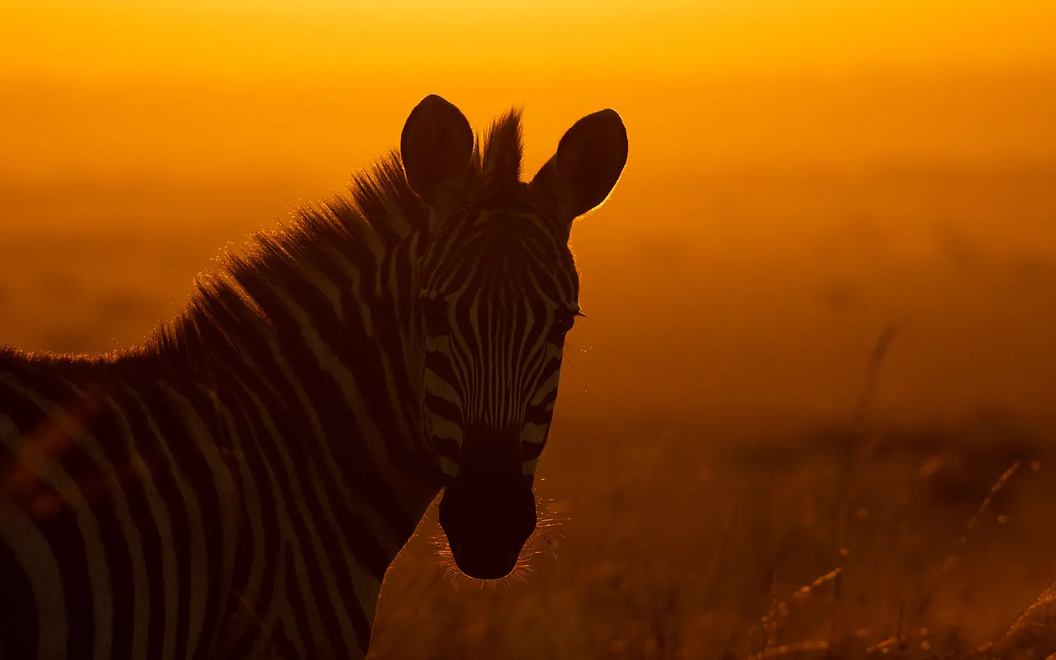 TNW_14_10_18_Zebra At Sunrise
