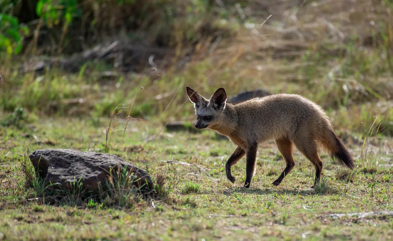 TNW_14_10_2018_Bat eared fox