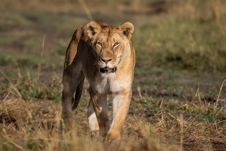 TNW_16_10_2018_Angama Pride Lioness