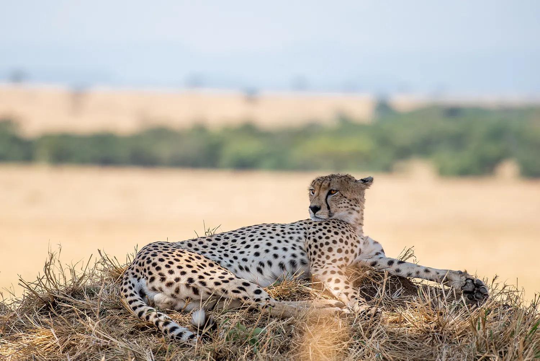 TNW_16_10_2018_Cheetah