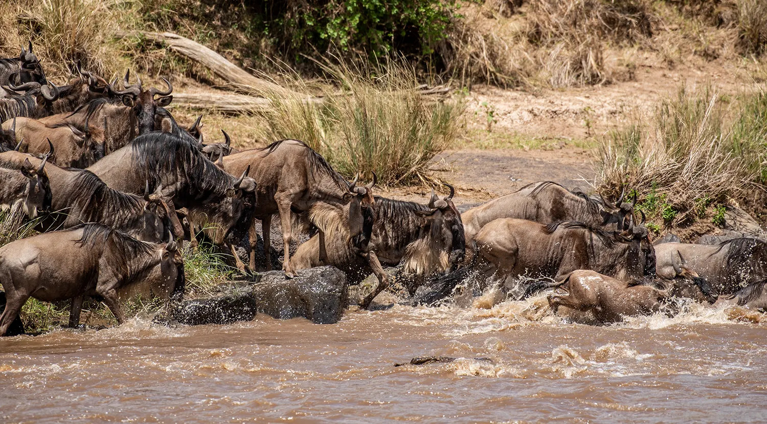 TNW_16_10_2018_Wildebeest crossing