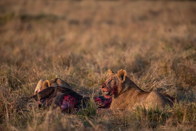 Angama pride males feeding