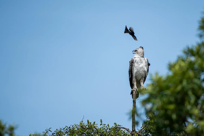 Drongo vs Martial eagle 2