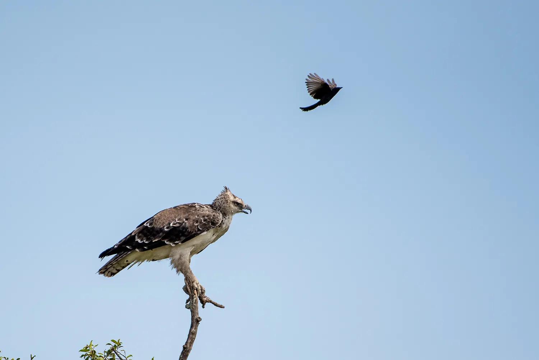 Drongo vs Martial eagle