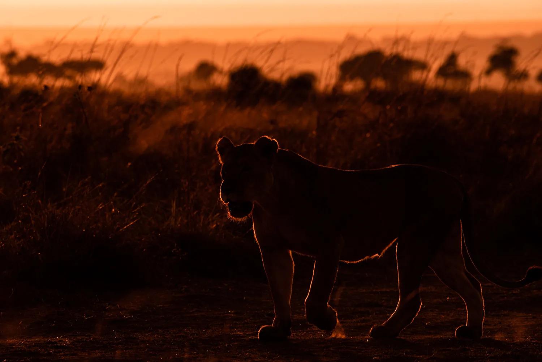 Rim Light Lioness