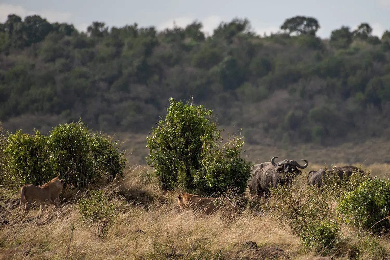 Young male pride VS buffalos