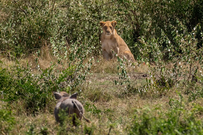 lioness vs warthog