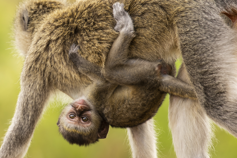 Baby monkey hanging on mom
