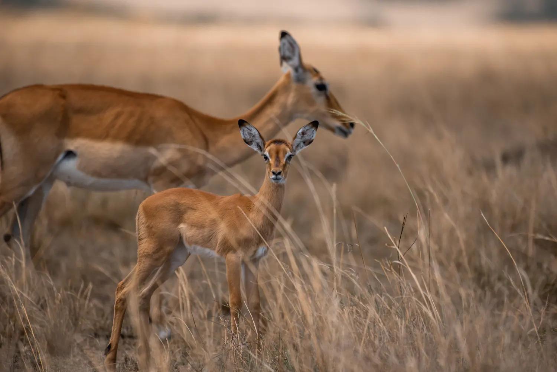 Impala and calf
