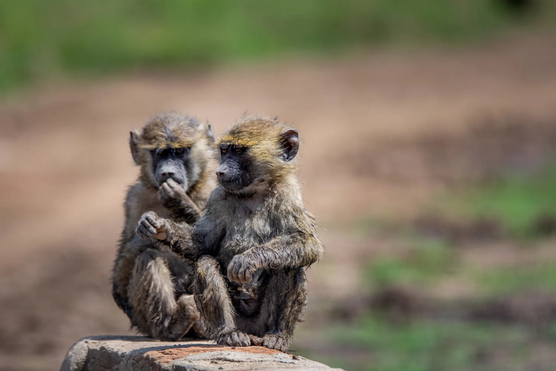 Young Babboons