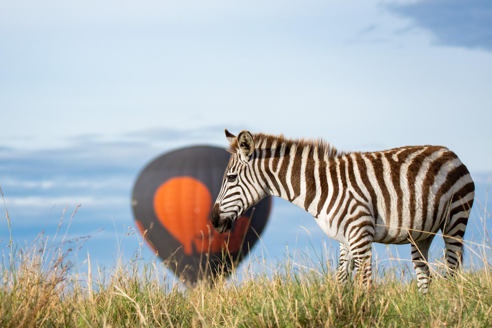 zebra and balloon