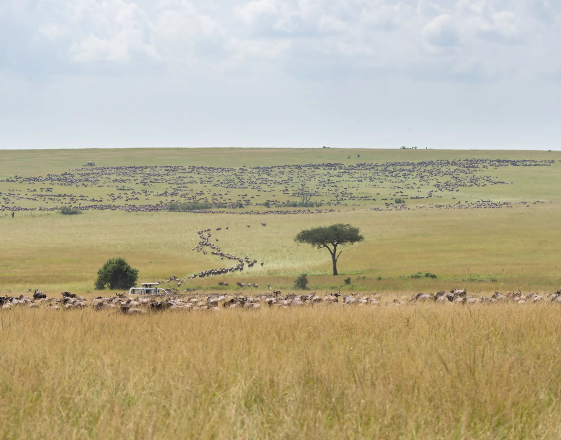 Wildebeest Pano