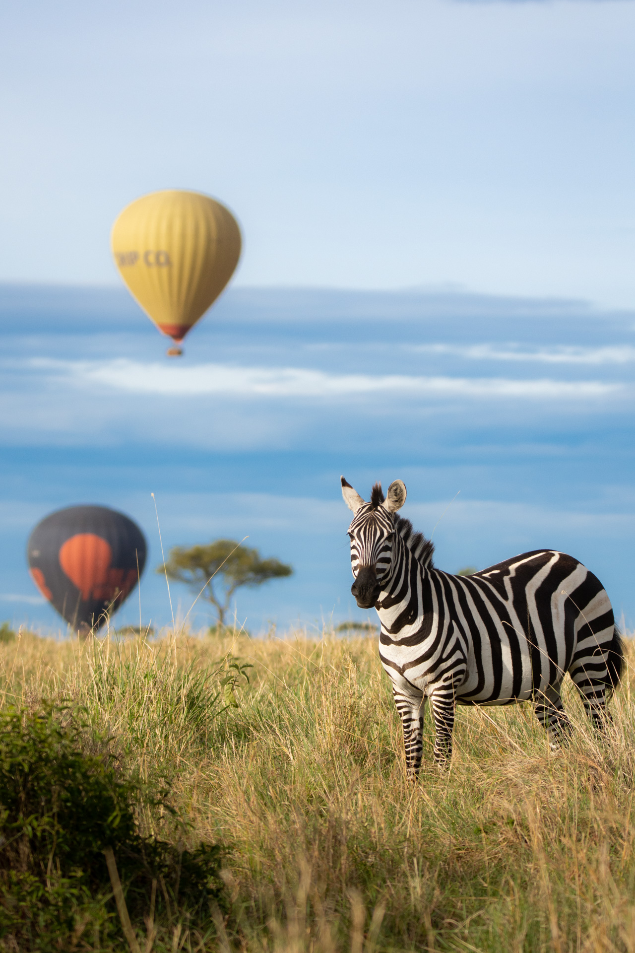Zebra and balloon 2
